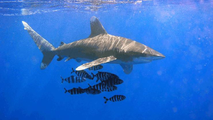 Atak rekina w egipskim kurorcie. 12-latek stracił ramię