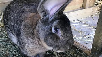 Skradziono największego królika na świecie. Wysoka nagroda za jego odnalezienie