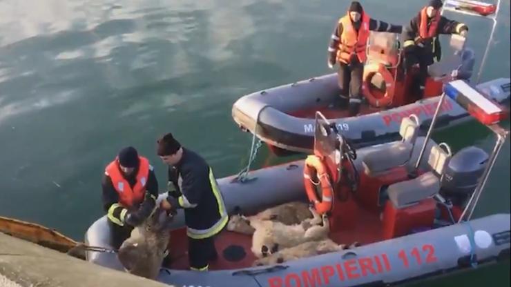 Ratownicy wyciągają z morza żywe owce. Po czterech dniach od katastrofy statku