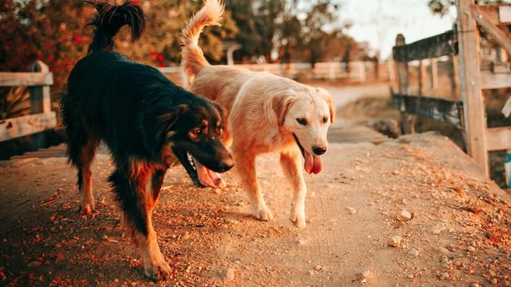 Niepokojący wzrost ataków psów na ludzi od początku pandemii
