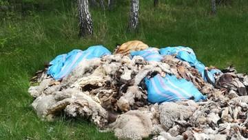 Rozczłonkowane owce i krowy porzucone w lesie. Kilkaset kilogramów odpadów po uboju