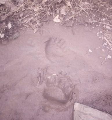 Ślady młodego niedźwiedzia w Małych Pieninach
